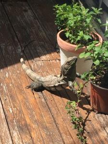 A primeira (de muitas) iguana da viagem